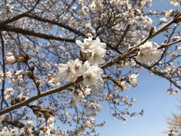 医療センターの桜