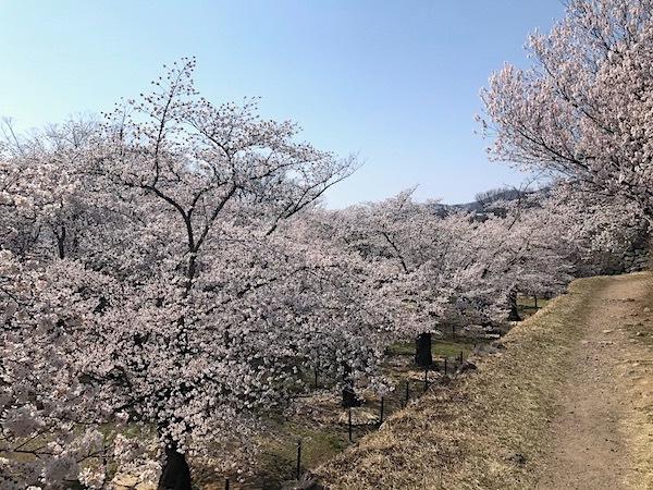 小諸八重紅枝垂桜