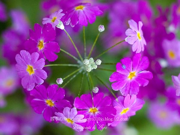 春の花 C3
