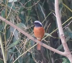 20 羽の色が鮮やかな渡り直前のジョウビタキ♂