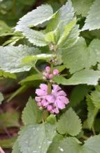 28 オドリコソウの花の色