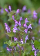 29 ホトケノザの明るい花色