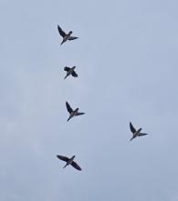 21 飛ぶオシドリ