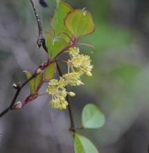 07 サルトリイバラ(花)