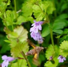 カキドオシの花にきたホシヒメホウジャク