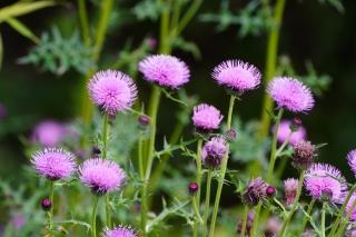 鮮やかなノアザミの花の色彩