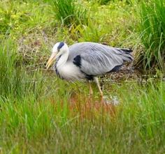 湿地で食べもの探しするアオサギ