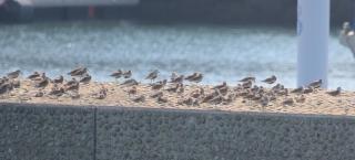 ハマシギとミユビシギの大きな群れ
