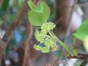 サルトリイバラ(サンキライ、ガメノハ)