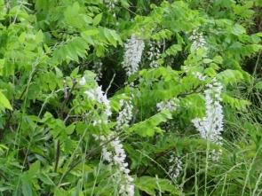 4 白いフジの花