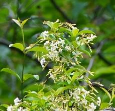 200525008テイカカズラの花、香りが良い