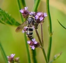200525014ツチバチ科の一種
