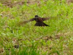 200525025草地から飛び上がるツグミ