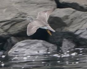 200525026飛んできたキアシシギ