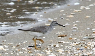 200525037砂浜で採食するキアシシギ
