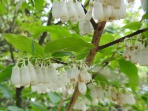 200525057ネジキの花
