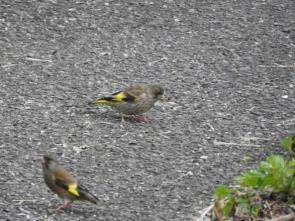 200525052カワラヒワ若鳥(胸に縦縞)と成鳥