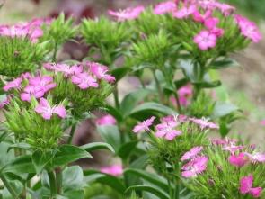 11 ハマナデシコの花