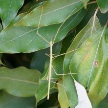 16シロダモの葉のナナフシモドキ
