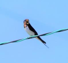 盛んに鳴いていた燕