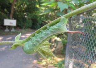 空中停止が得意なオオスカシバの幼虫