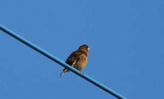 38カワラヒワ(若鳥)