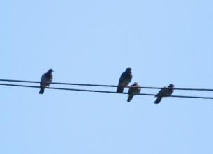 44電線で休むカワラバトの群れの一部