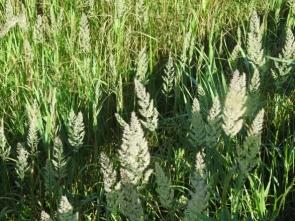 58湿地で咲くヤマアワ