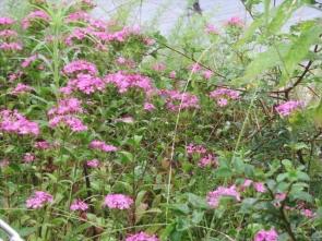 4 ハマナデシコの花
