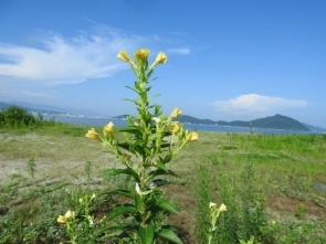 メマツヨイグサの花、背景の山(画面の右)は毘沙門山です。梅雨明けの空