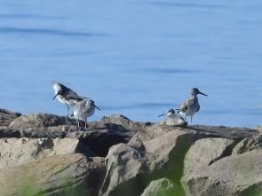 防波堤で休むキアシシギの群れ
