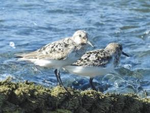 水辺で休むオバシギ