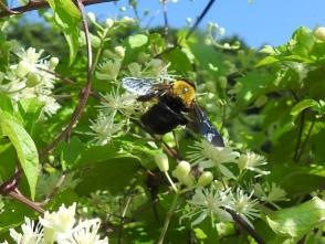 ボタンヅルの花にいたキムネクマバチ