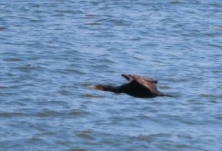 水面上を飛ぶカワウ
