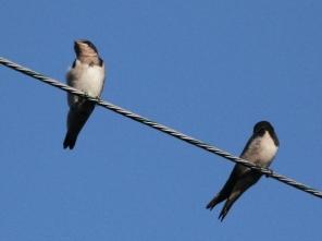 ツバメの若鳥