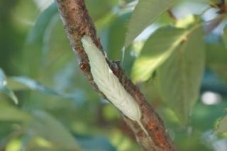 キイロスズメ幼虫