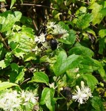 ボタンヅルとクマバチ