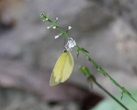 キタキチョウ、ハエドクソウの花に止まる