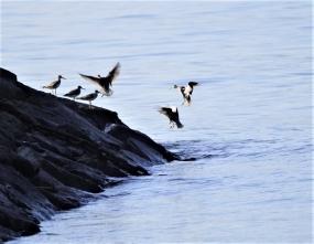 防波堤に移動したキアシシギの群れ