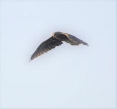 200824004 海岸付近を飛ぶトビ