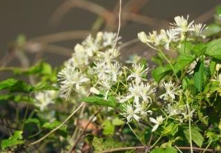 200824029 ボタンヅルの花
