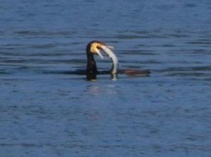 200824109 カワウ 大きな長い魚を捕獲