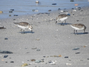 200824301 砂浜の水辺で捕食するトウネンの群れ