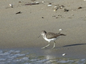 61砂浜で食べもの探し61砂浜で食べもの探しするイソシギするイソシギ