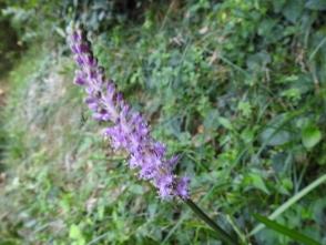 67花の付く茎が長いツルボの花