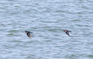 45海面上低く飛ぶハマシギ