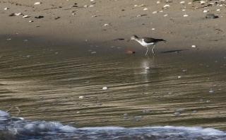 43イソシギ、砂浜で食べもの探し
