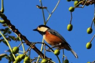 46ヤマガラ、海岸のセンダンの木で見かけた