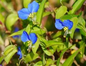 14青い花びらが際だったツユクサ