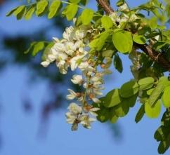 11秋に花を咲かせ11秋に花を咲かせたハリエンジュたハリエンジュ